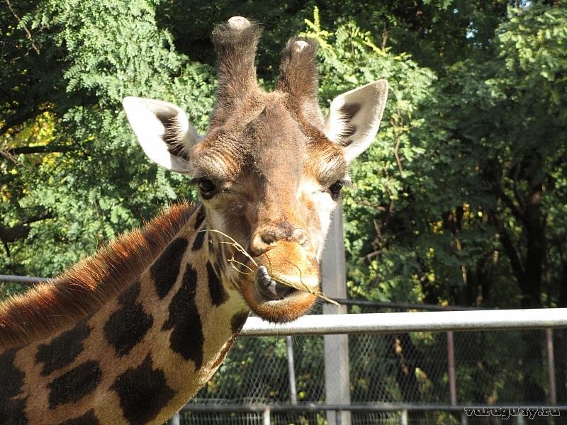 Жираф Зоопарк Монтевидео